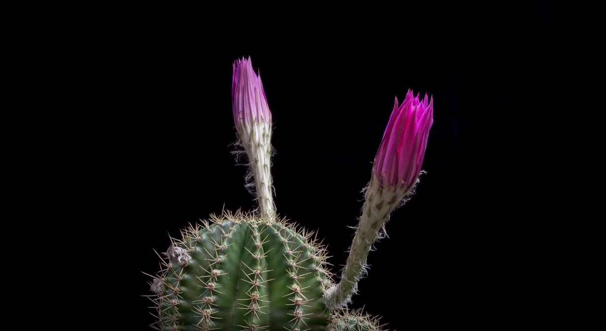 cacti-bloom-02