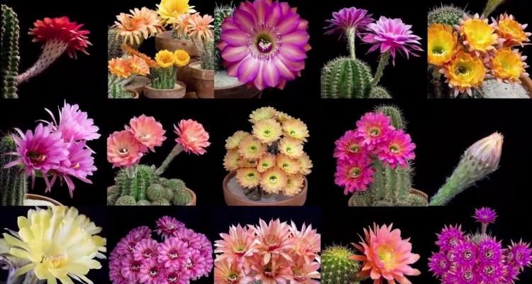 サボテンの花が咲く様子を、タイムラプスに収めた映像。