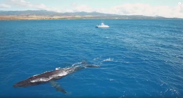 ハワイでドローン撮影された、ザトウクジラの動画。