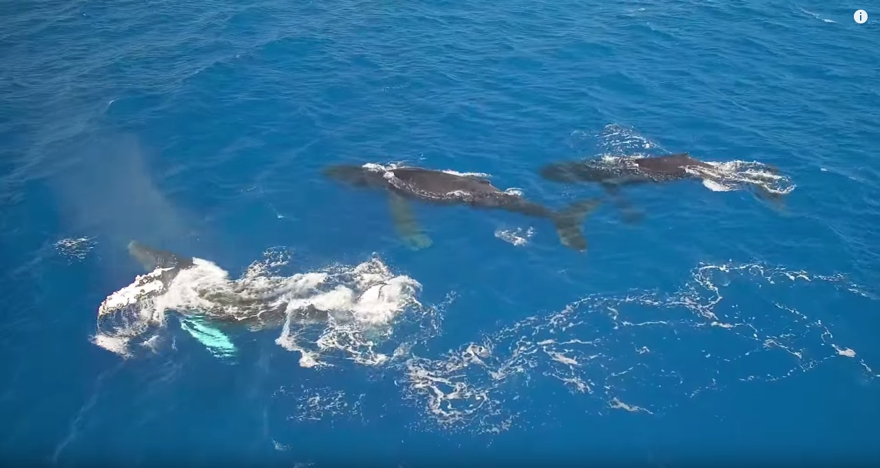 whales-in-hawaii-02