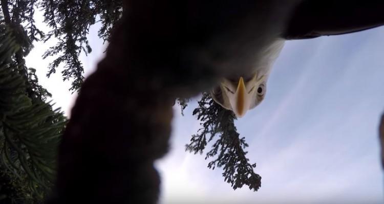 自撮りする鳥。撮影のためにGoProを仕掛けるもハクトウワシに盗まれ、貴重な空撮映像に!